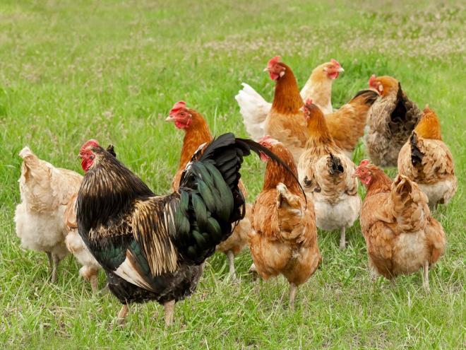 Rappel : Distribution de poules – Inscription jusqu'au 12 juillet 2019