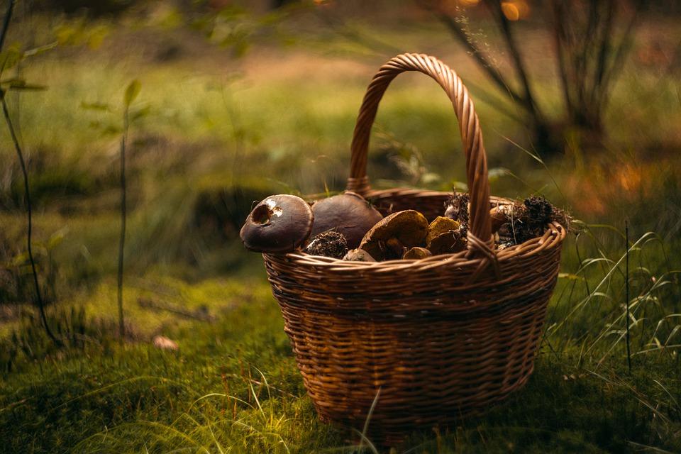 La cueillette des champis est autorisée. C'est vrai ça ?